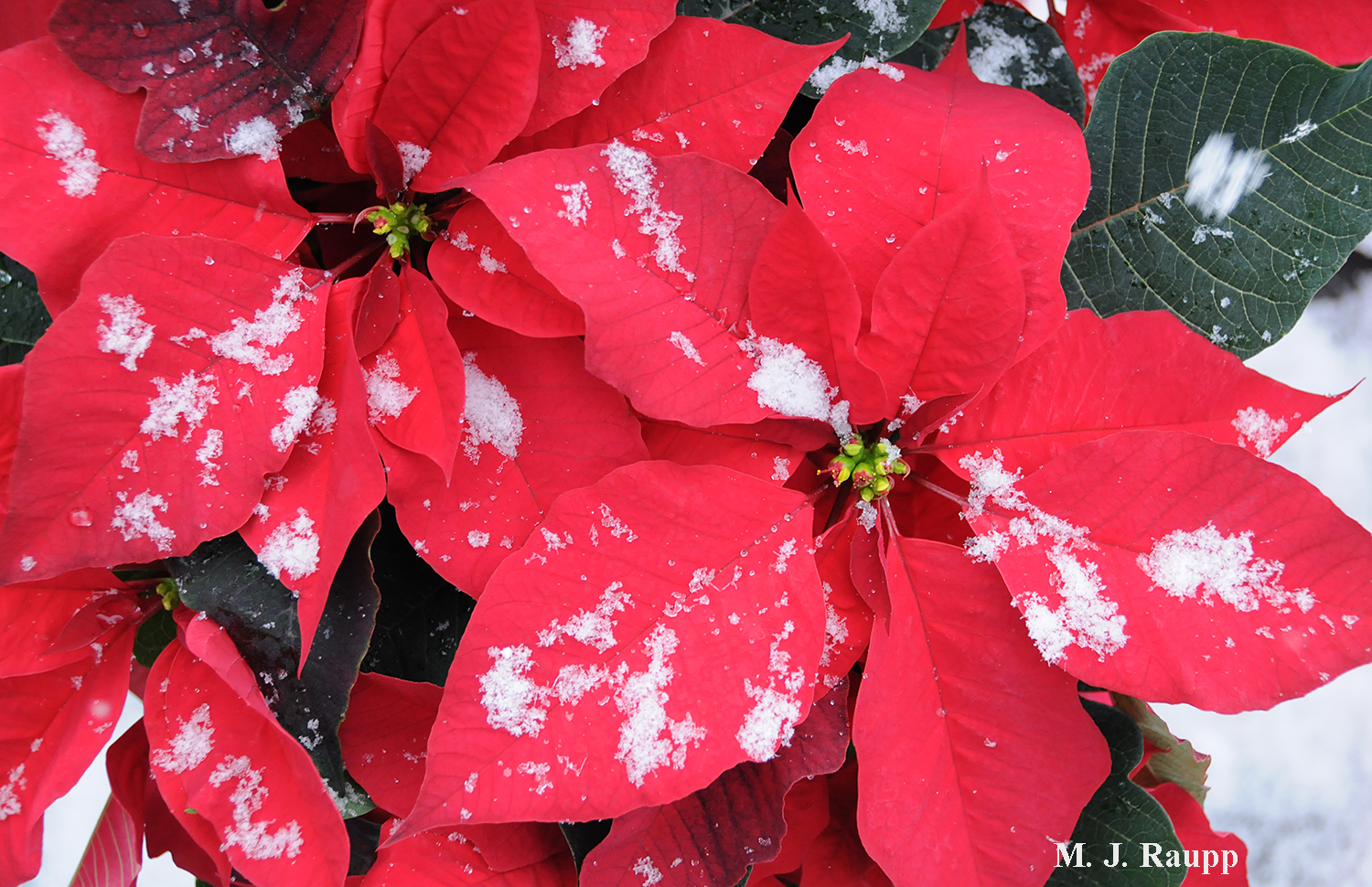 Plants like poinsettias and many insects derive their beautiful colors from light absorbing pigments.
