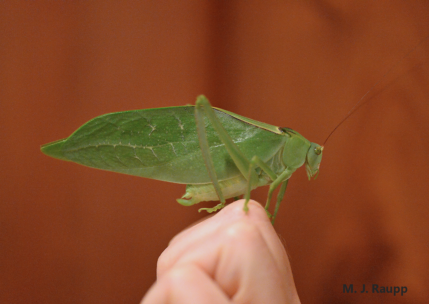 Round-headed katydids in the Costa Rican rainforest attain prodigious size.
