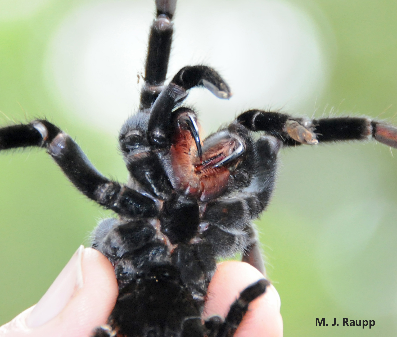 Large powerful fangs used to capture prey are the business end of a tarantula.