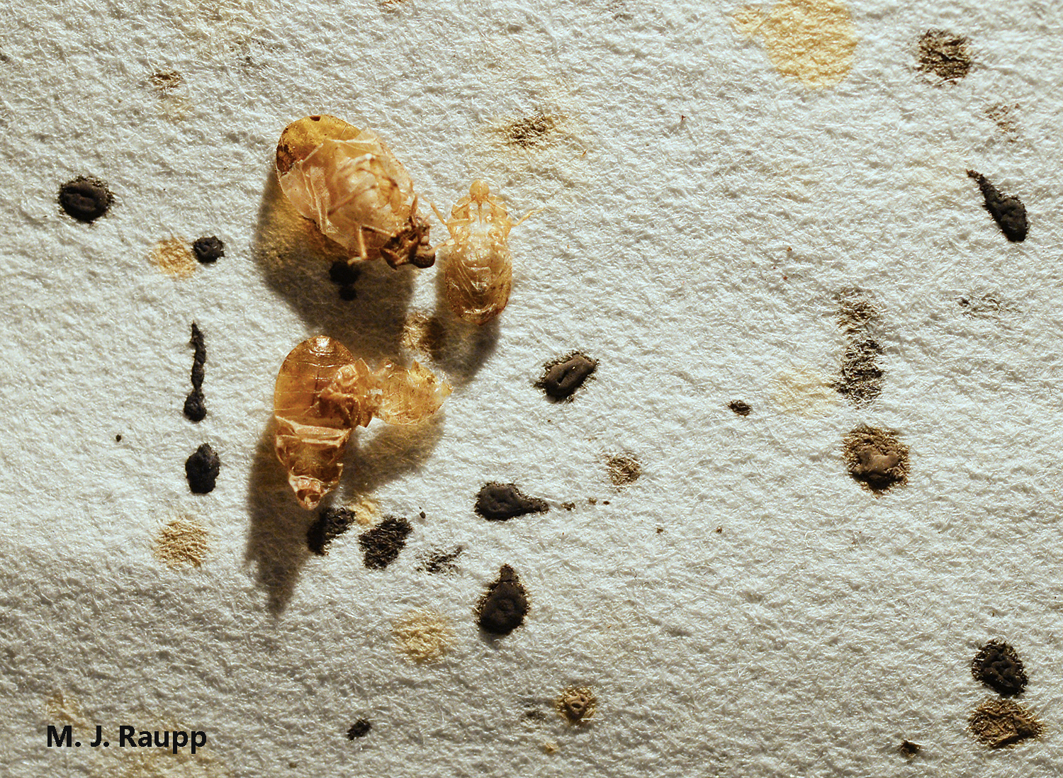 Ectoparasites Go To School Bed Bugs In Dc I Cimex Lectularius I Bug Of The Week