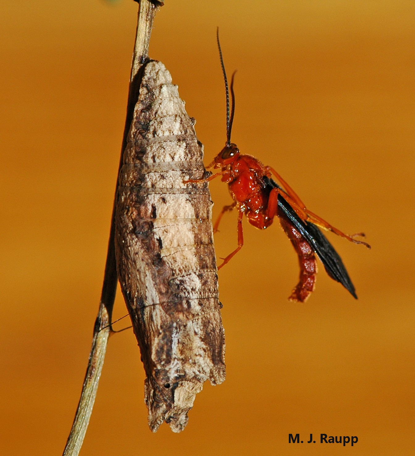 A beautiful ichneumonid wasp rests on the chrysalis of a swallowtail butterfly from which it emerged.