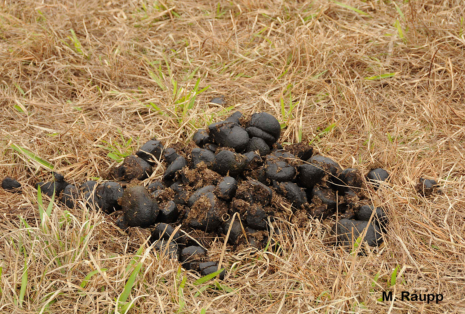 Dung beetle larvae will turn a pile of horse manure into remarkable beetles.