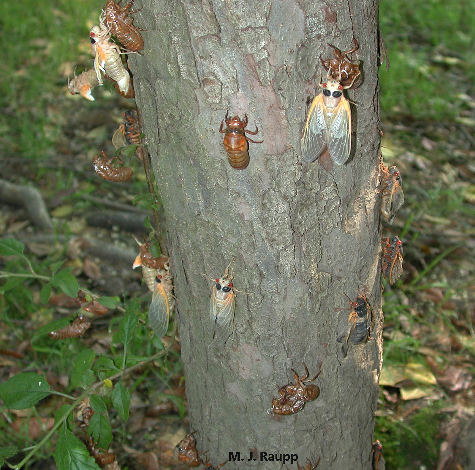 Beautiful newly emerged periodical cicadas are making appearances on trees and shrubs throughout our region.