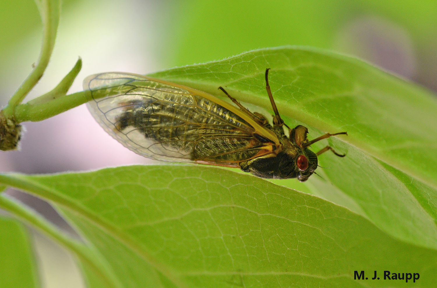 By dawn, the cicada's exoskeleton has hardened and he is ready to join the big boy band assembling in the treetops.