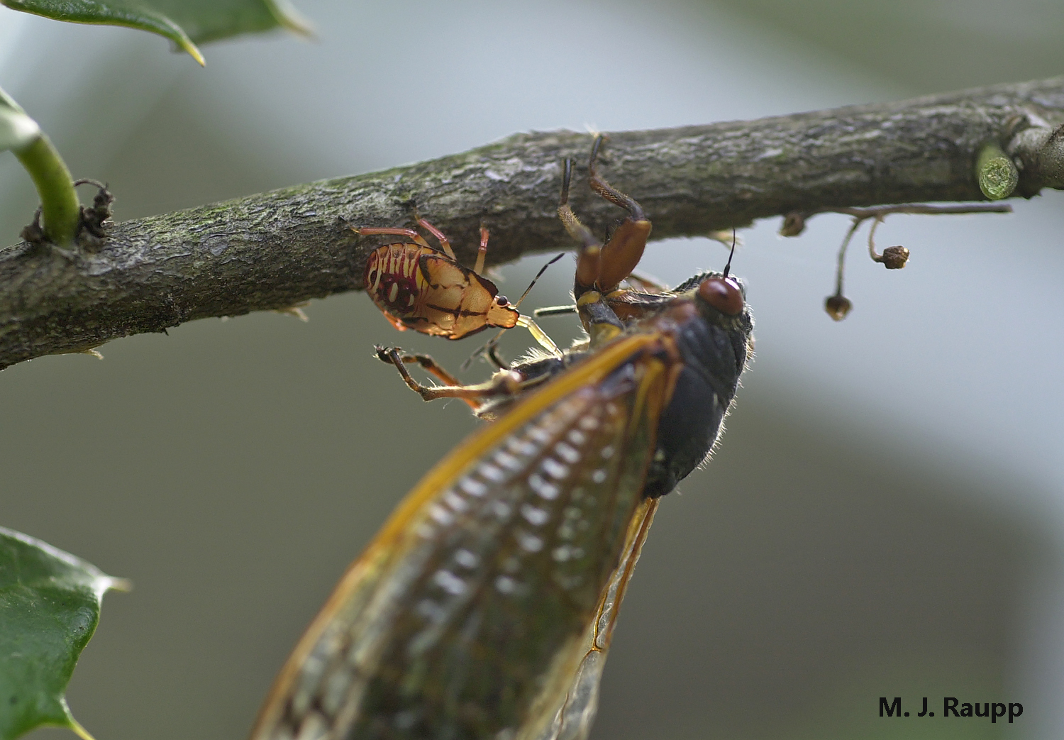 Exactly how the much smaller stink bug nymph paralyzes the much larger cicada remains a mystery. Note the beak of the stink bug inserted into the cicada to extract the cicada's blood.