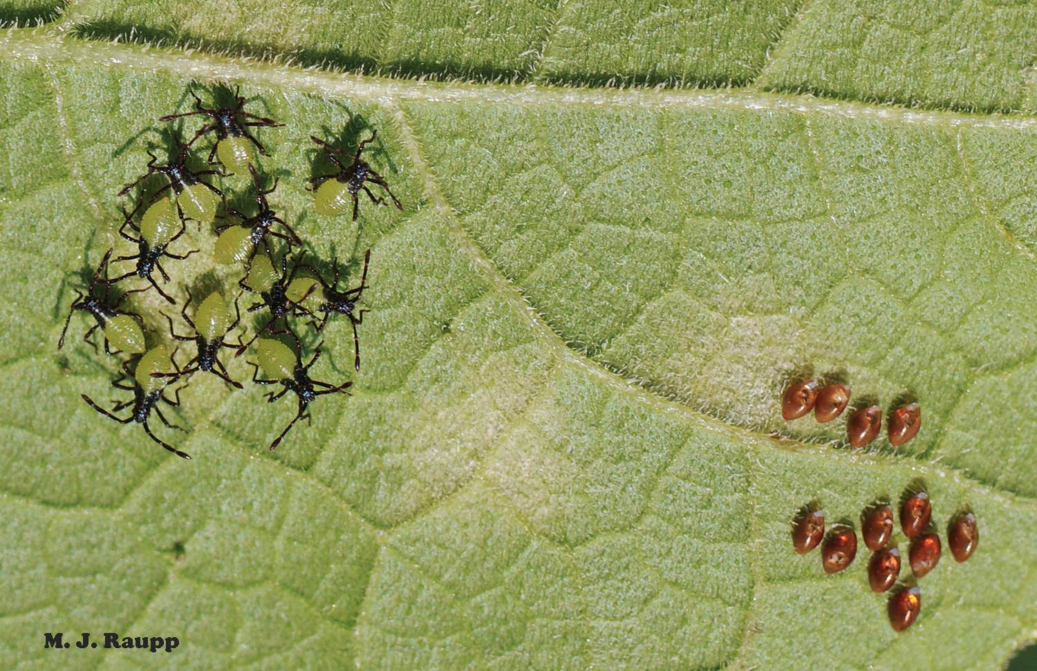 Green and black squash bug nymphs huddle just after hatching from nearby eggs.