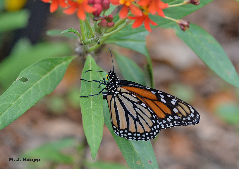 "Bending her abdomen beneath the leaf, the female monarch deposits an egg.       Normal   0           false   false   false     EN-US   X-NONE   X-NONE                                                                                                                                                                                                                                                                                                                                                                           /* Style Definitions */  table.MsoNormalTable {mso-style-name:""Table Normal""; mso-tstyle-rowband-size:0; mso-tstyle-colband-size:0; mso-style-noshow:yes; mso-style-priority:99; mso-style-parent:""""; mso-padding-alt:0in 5.4pt 0in 5.4pt; mso-para-margin-top:0in; mso-para-margin-right:0in; mso-para-margin-bottom:10.0pt; mso-para-margin-left:0in; line-height:115%; mso-pagination:widow-orphan; font-size:11.0pt; font-family:""Calibri"",""sans-serif""; mso-ascii-font-family:Calibri; mso-ascii-theme-font:minor-latin; mso-hansi-font-family:Calibri; mso-hansi-theme-font:minor-latin; mso-bidi-font-family:""Times New Roman""; mso-bidi-theme-font:minor-bidi;}"