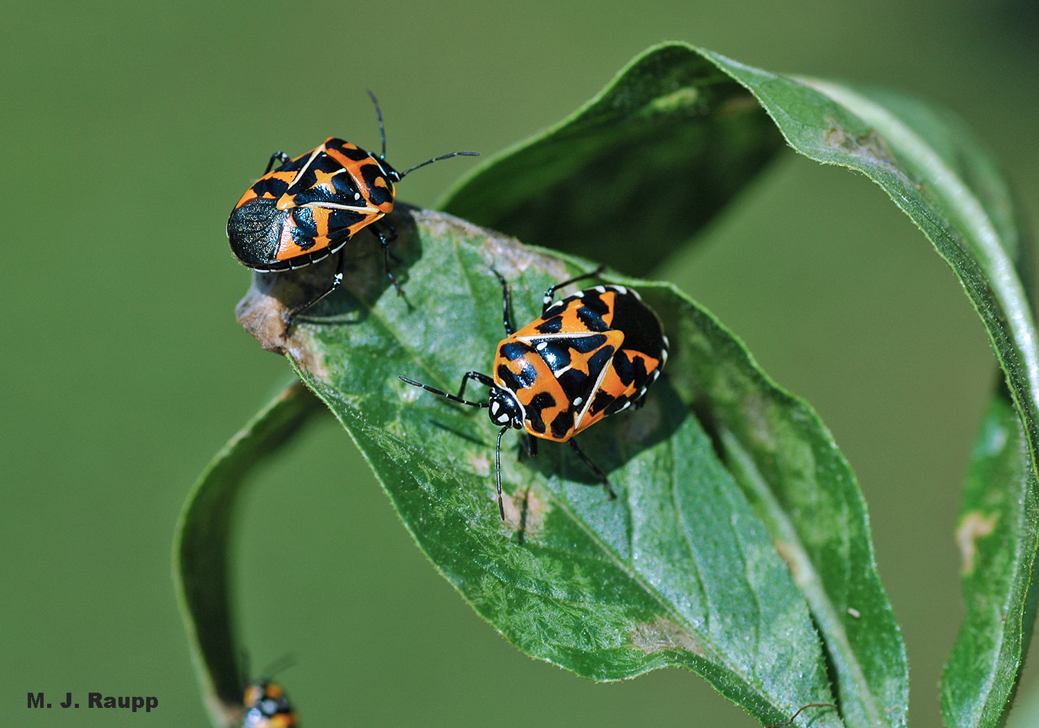 "Two brightly colored harlequin bugs warn predators of their nasty flavor and send the message ""don't eat me""."