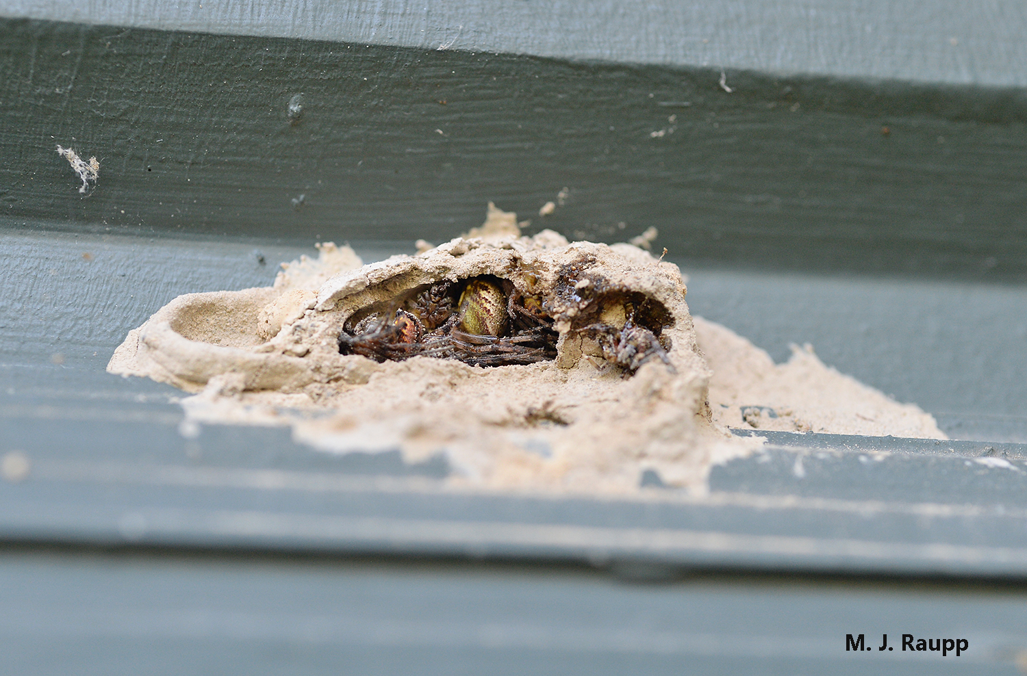 Several juicy paralyzed spiders await the hungry jaws of a mud dauber larva inside their clay crypt.