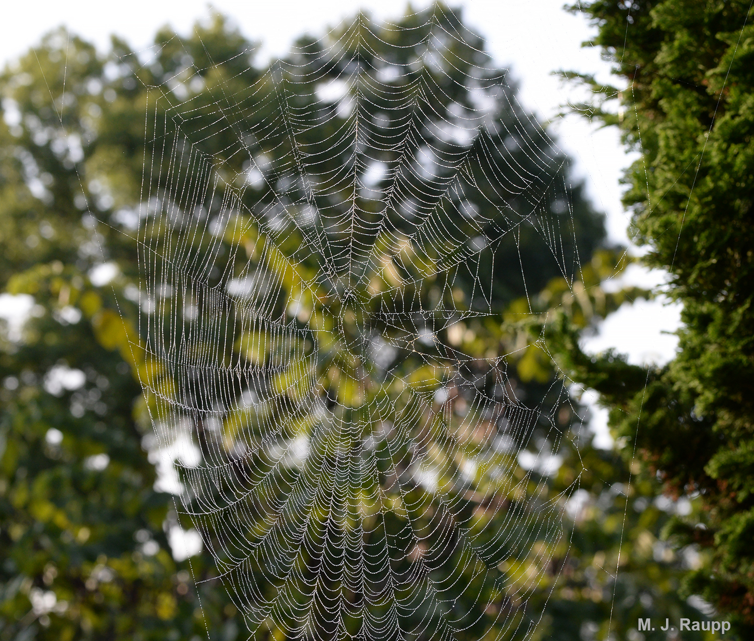 A fine morning mist reveals the beautiful web of a spotted orbweaver.