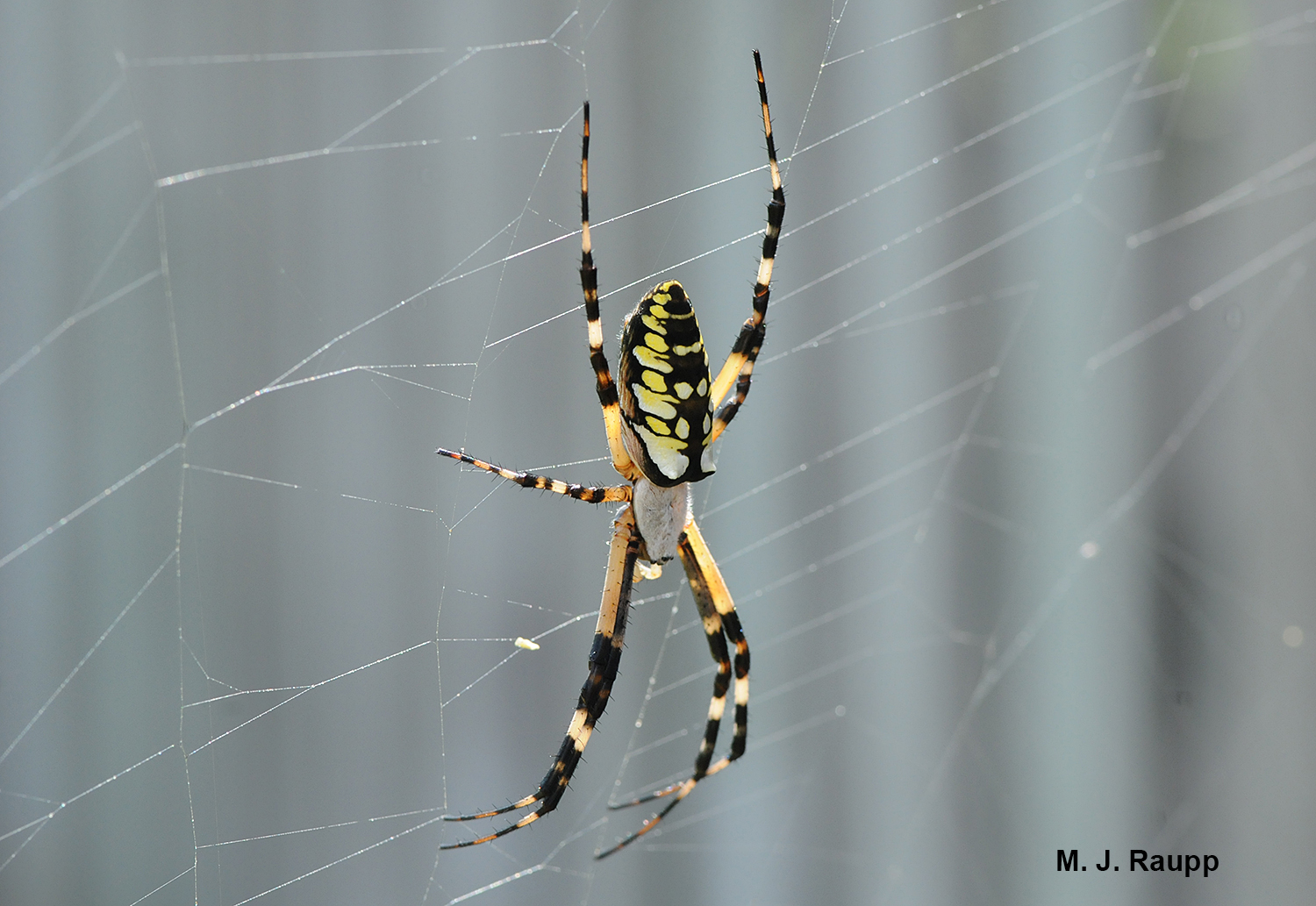Big spider webs, Part 2 Black and yellow garden spider, \u003ci
