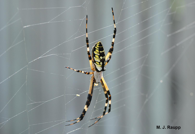 Big spider webs, Part 2 Black and yellow garden spider, \u003ci