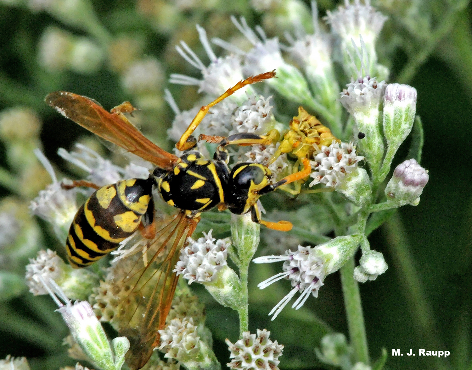 A yellow and brown ambush bug gives a small wasp a perfidious kiss.