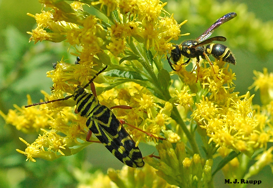 Black and yellow bands on the beetle mimic bands on the stinging wasp next door, warning birds and other predators to stand down.