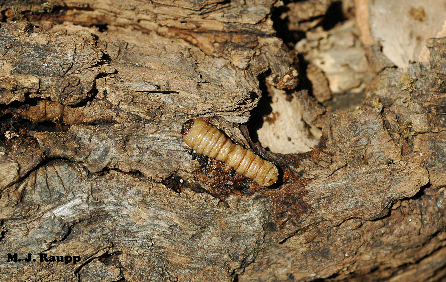 Larvae of the locust borer are known as round headed borers. Their galleries structurally weaken trees and can kill branches and sometimes entire trees.