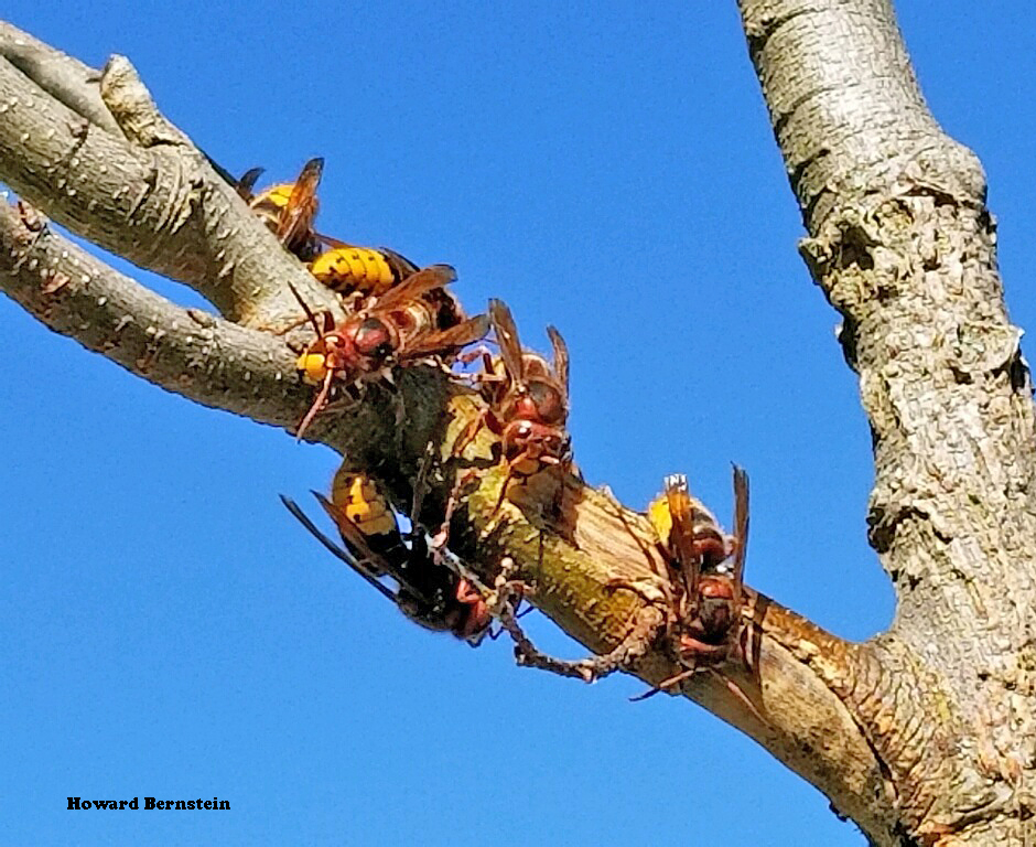 Gangs of European hornets often strip bark from thin-barked trees and shrubs in autumn.
