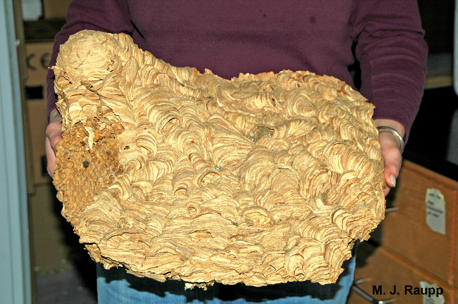 This large nest came from a wall void in my neighbor's home.