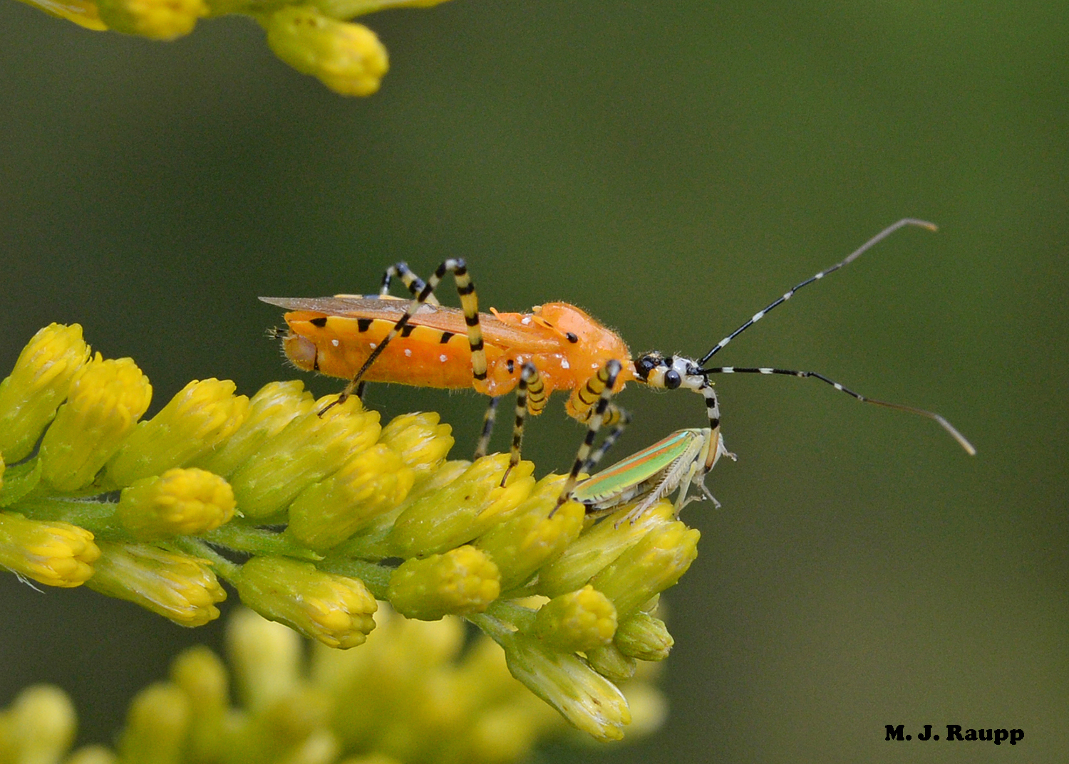 This orange assassin bug wearing black jailhouse stripes delivered a trick - not a treat - to this hapless leafhopper.