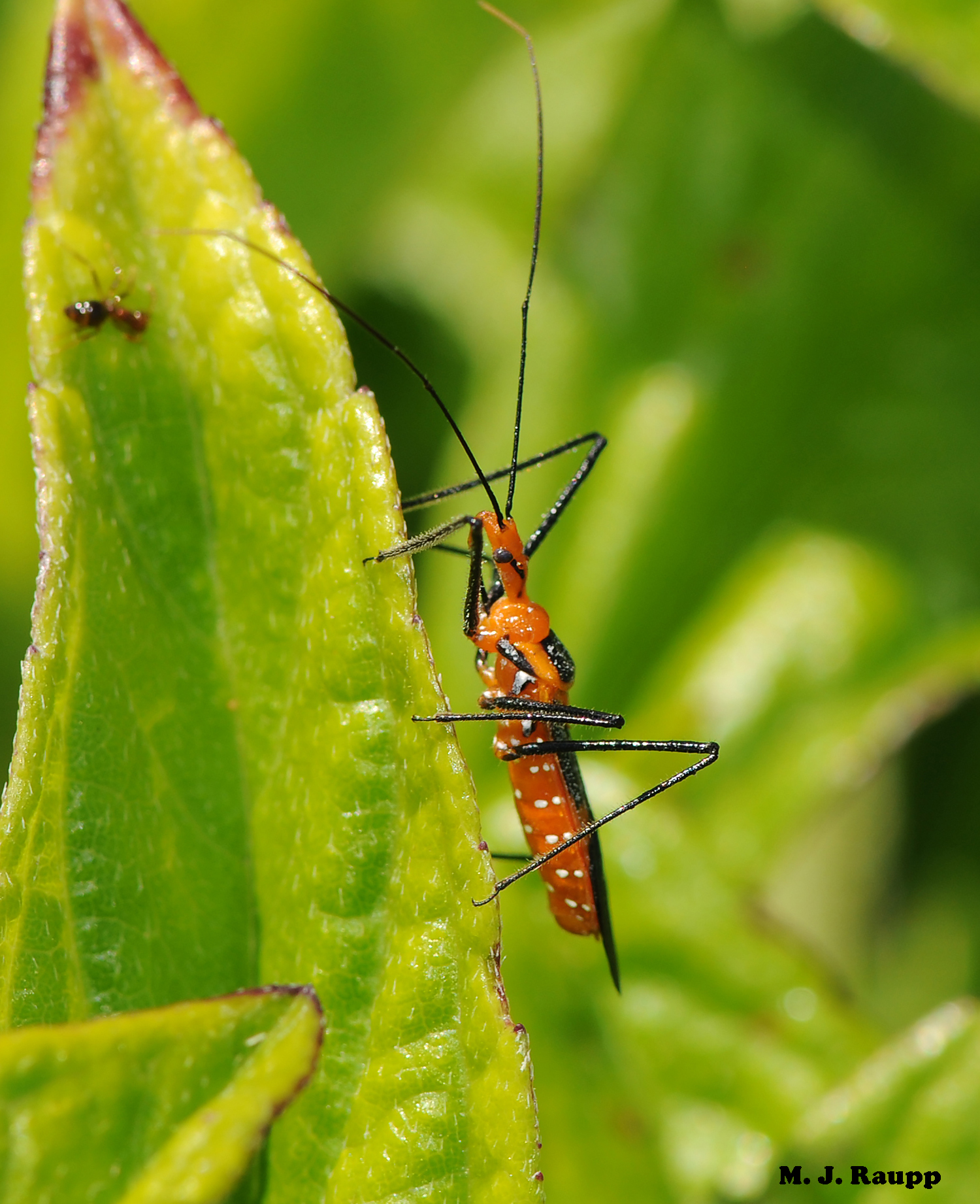 Sticky forelegs help the milkweed assassin bug snare its prey.