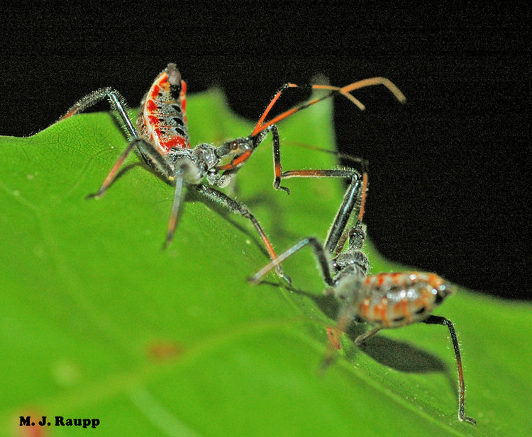 Bugs in orange and black: Three assassins - milkweed