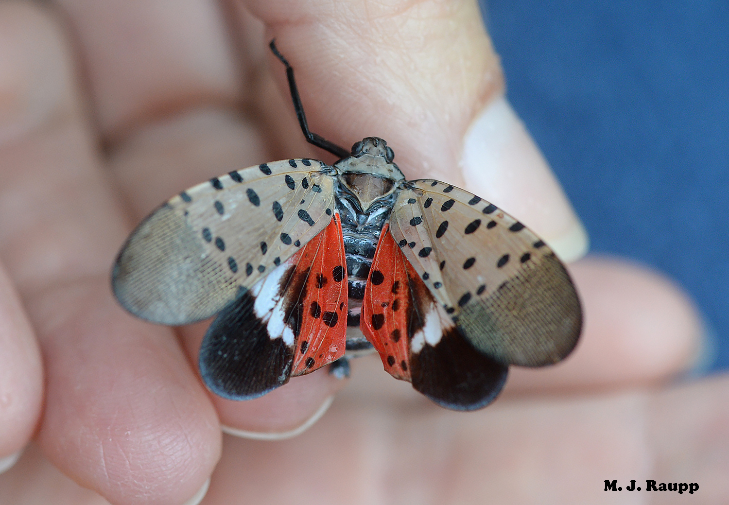 Spectacularly beautiful but nonetheless harmful, spotted lanternflies provide yet another challenge in the never ending battle with invasive species.