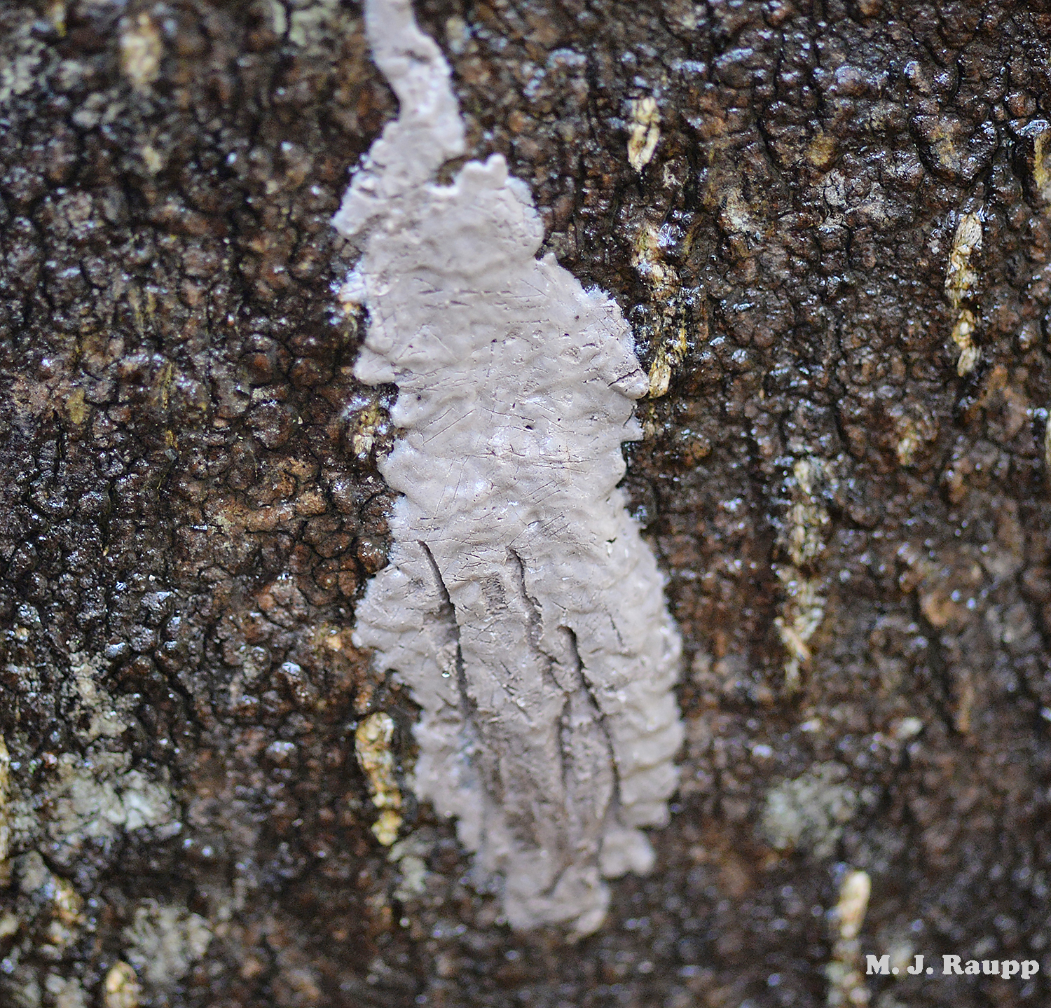 It's easy to see how the non-descript egg masses of the lanternfly like this one on the bole of a tree sneak past human detection and move about the world.