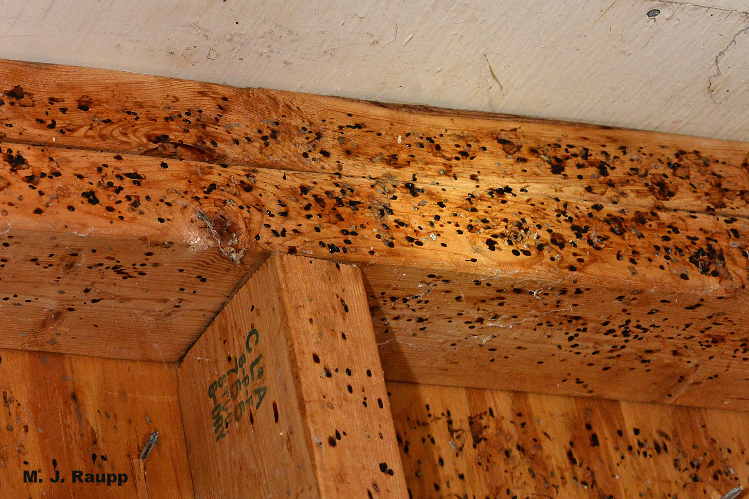 Fecal spots left by camel crickets create a foul ambiance to the interior of a tool shed.