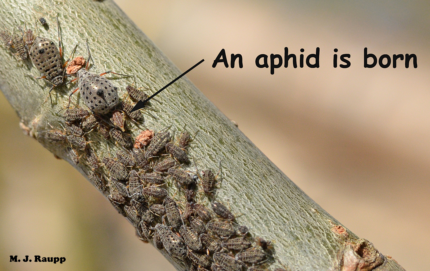 In this colony of giant willow aphids, the large female on the upper left portion of the branch is giving birth to a daughter.