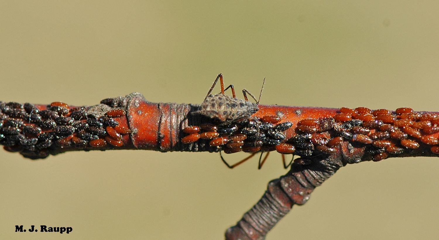 Eggs of the giant bark aphid are the overwintering stage. They line small branches by the thousands and change from amber to black as they age.