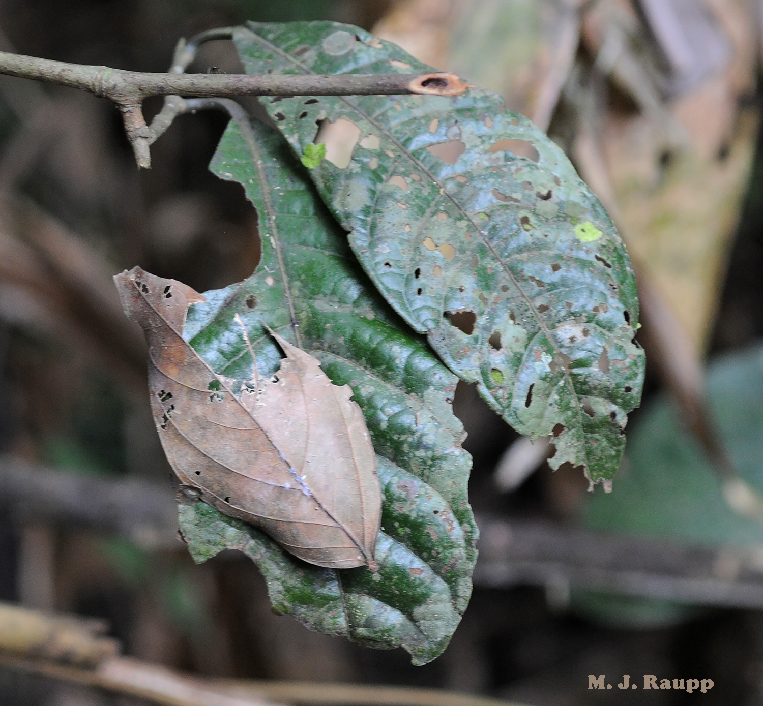 Throughout the rainforest, fallen dead leaves comingle with living ones and provide an opportunity for cryptic insects to blend in with their environment to escape the jaws of hungry predators.