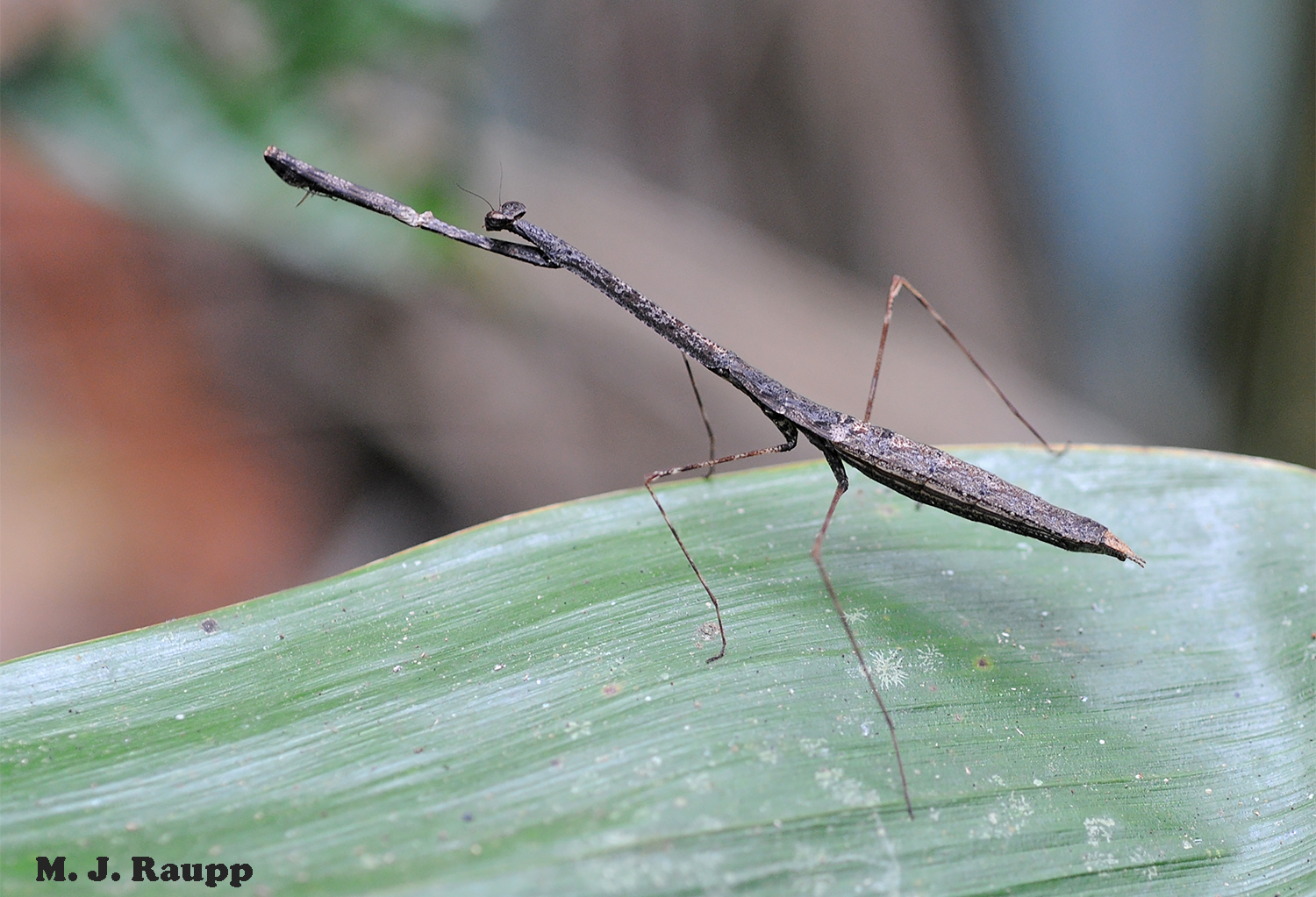 """Greatly elongated limbs, twig-brown coloration, and the ability to remain motionless seemingly for hours, give this rainforest mantis a look that says, """"Don't bother with a second look, I'm just a twig."""""""