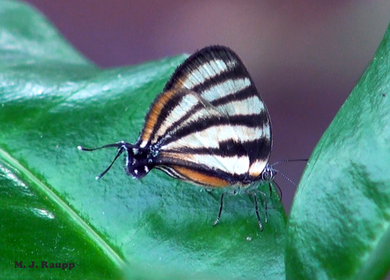 At the right end of this butterfly are its head, thorax, and abdomen, vital parts that are targets for a predator's attack. At the left end of the butterfly at the tips of the hindwings are two white–tipped, antennae-like tails, a head-like rounded dark patch, and a small white eye spot that combine to create a false head intended to misdirect a predator's attack.