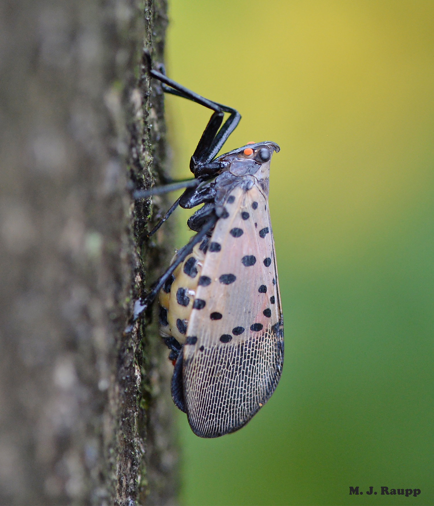 With an abdomen full of eggs this female lanternfly will soon deposit them in an egg mass on the tree.