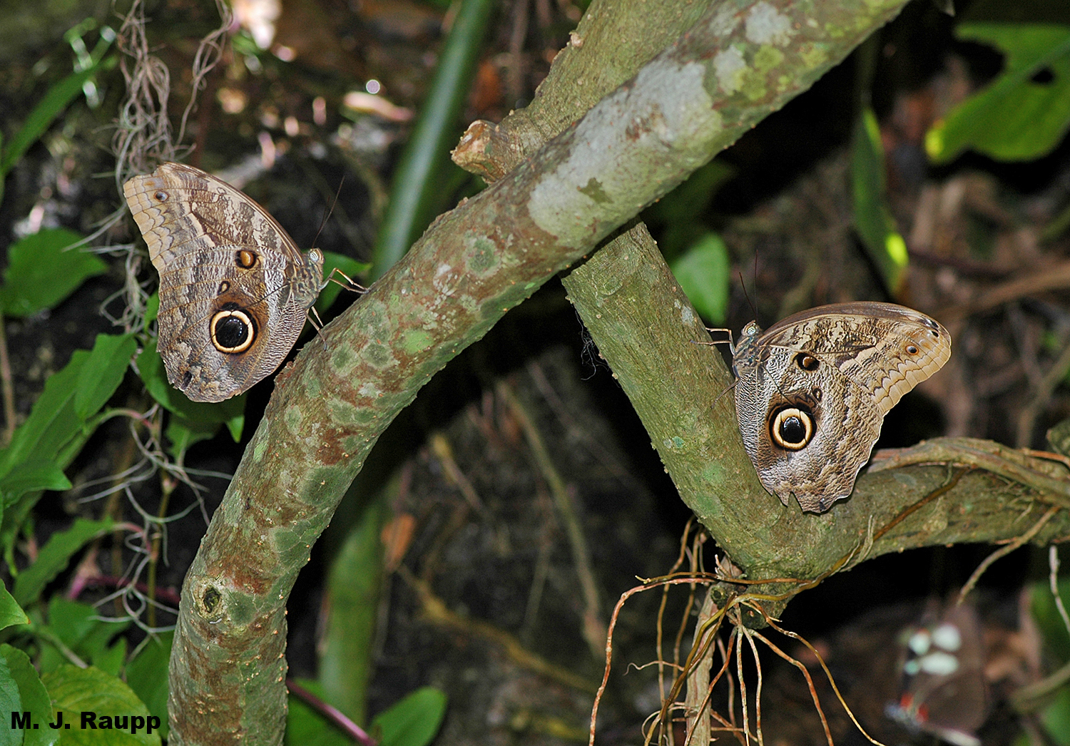 This pair of owl butterflies might make a hungry predator turn back and run.