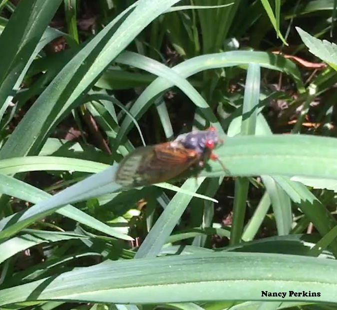 Homeowners around Columbia, MD sighted cicadas on foliage and plants last week.  Photo credit: Nancy Perkins
