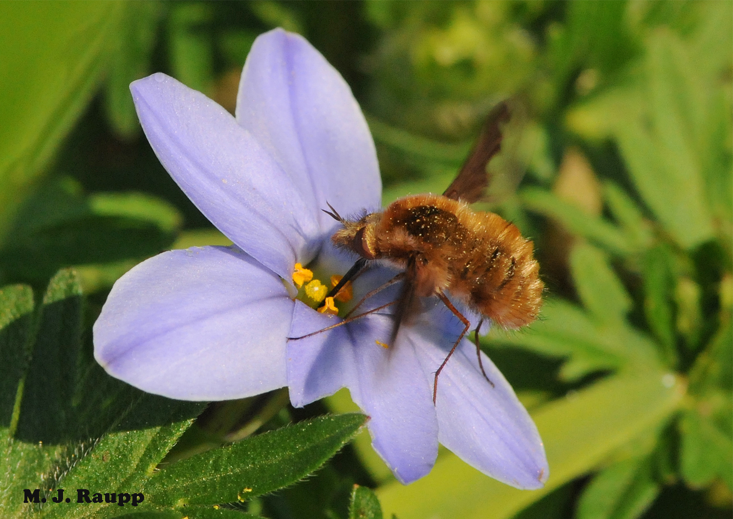 """Bee flies like this Greater Bee Fly frequent meadows bustling with blossoms and are often confused with bees.                      Normal    0                false    false    false       EN-US    X-NONE    X-NONE                                                                                                                                                                                                                                                                                                                                                                                                                                                                                                                        /* Style Definitions */  table.MsoNormalTable {mso-style-name:""""Table Normal""""; mso-tstyle-rowband-size:0; mso-tstyle-colband-size:0; mso-style-noshow:yes; mso-style-priority:99; mso-style-parent:""""""""; mso-padding-alt:0in 5.4pt 0in 5.4pt; mso-para-margin-top:0in; mso-para-margin-right:0in; mso-para-margin-bottom:10.0pt; mso-para-margin-left:0in; line-height:115%; mso-pagination:widow-orphan; font-size:11.0pt; font-family:""""Calibri"""",""""sans-serif""""; mso-ascii-font-family:Calibri; mso-ascii-theme-font:minor-latin; mso-hansi-font-family:Calibri; mso-hansi-theme-font:minor-latin; mso-bidi-font-family:""""Times New Roman""""; mso-bidi-theme-font:minor-bidi;}"""