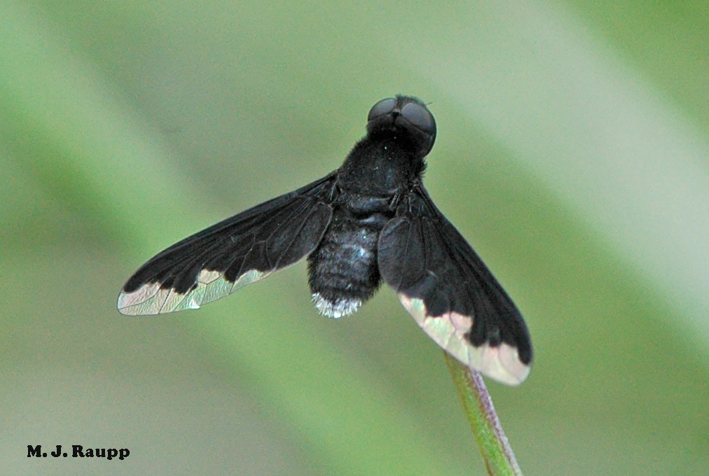 Ground nesting bees beware of the bee fly: Bombyliidae — Bug