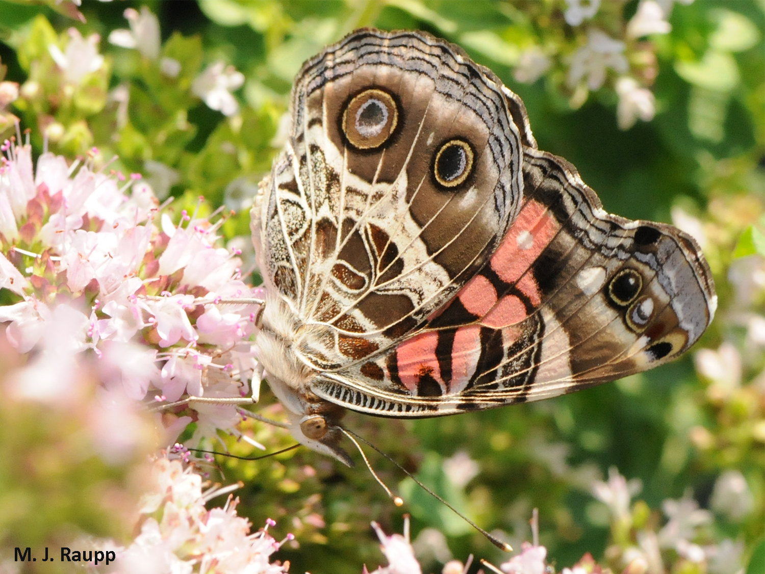 Whether upside down or right side up, the American Painted Lady is one gorgeous butterfly.