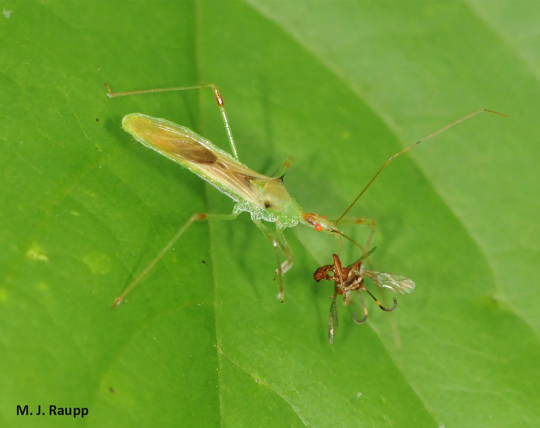 A zealous assassin: Pale Green Assassin Bug, <i>Zelus