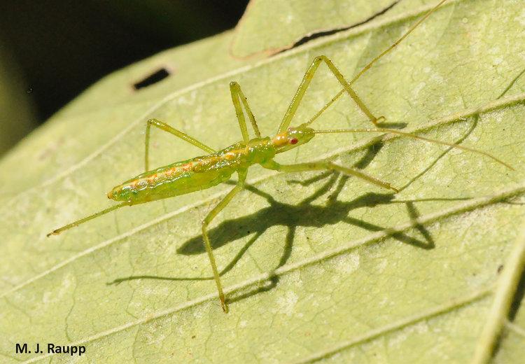 A zealous assassin: Pale Green Assassin Bug, <i>Zelus luridus</i