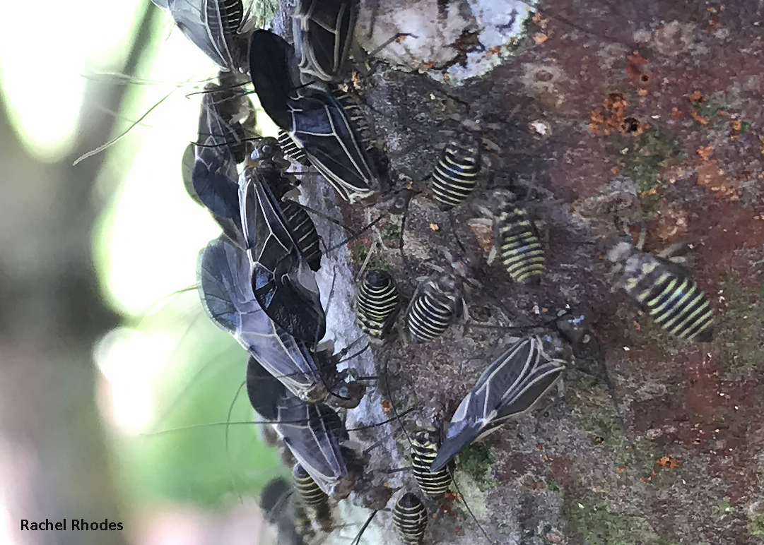Wingless nymphs and winged adults are often seen in large aggregations on the bark of trees. Photo credit: Rachel Rhodes