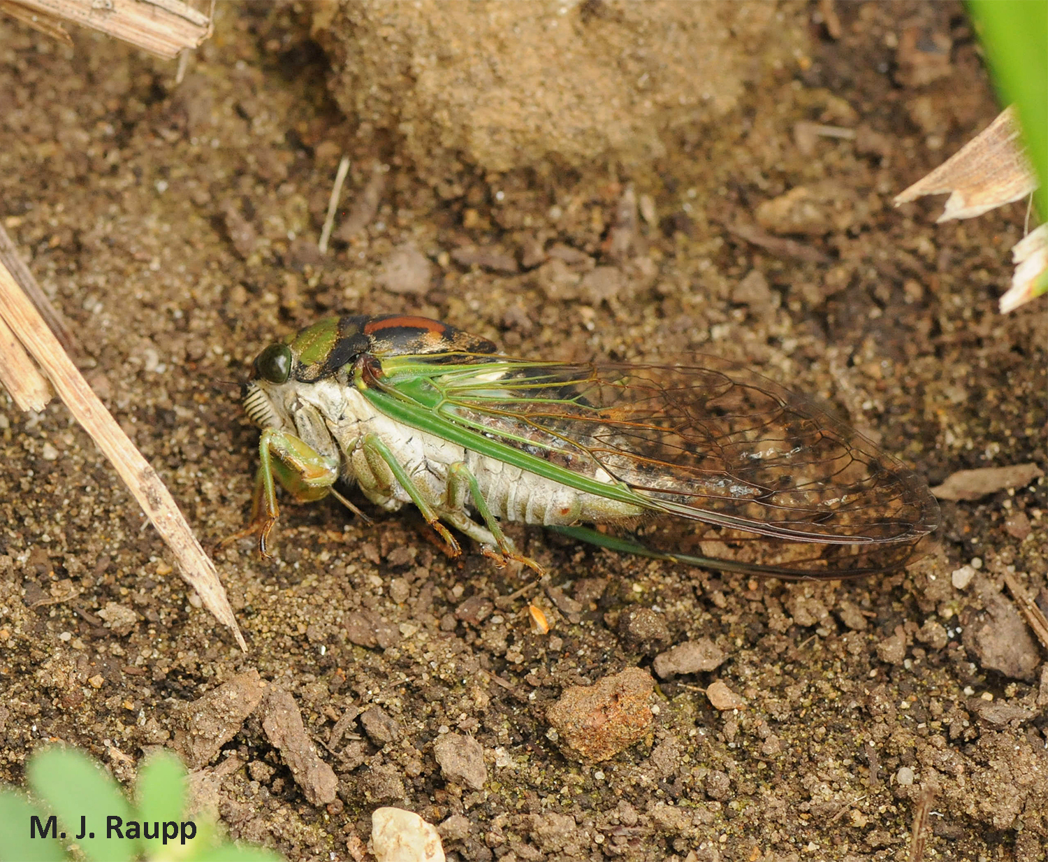 Paralyzed cicadas are sometimes abandoned near the entrance to a nest.