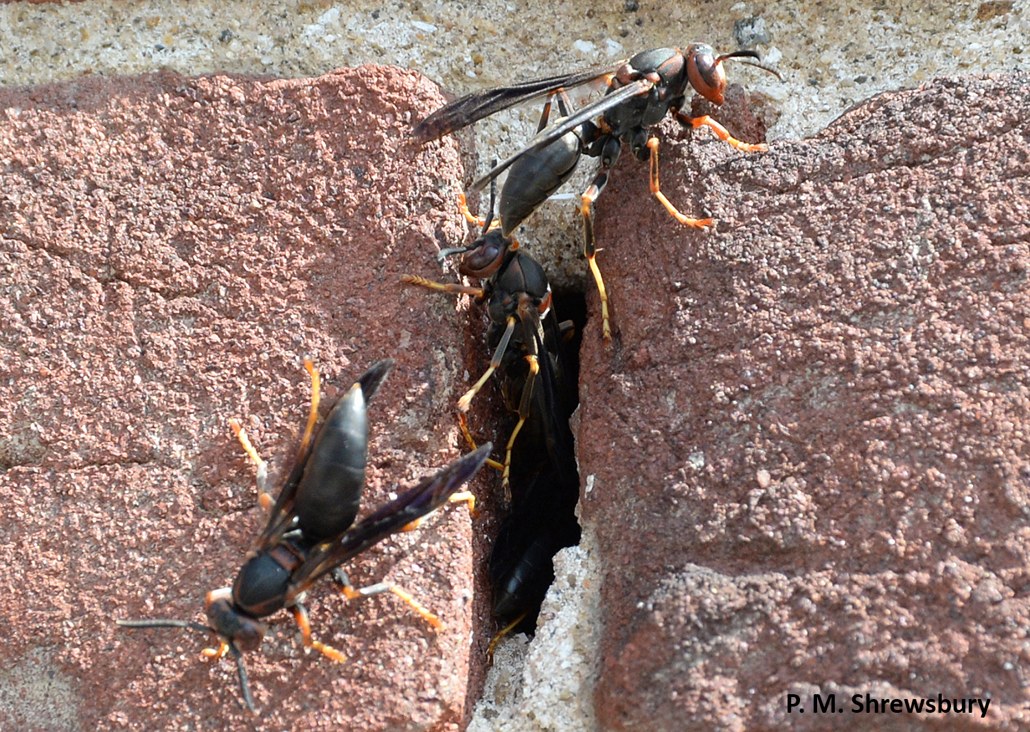 A break in a brick wall makes the perfect place for Polistes to build their nest. Photo credit: Paula Shrewsbury, UMD