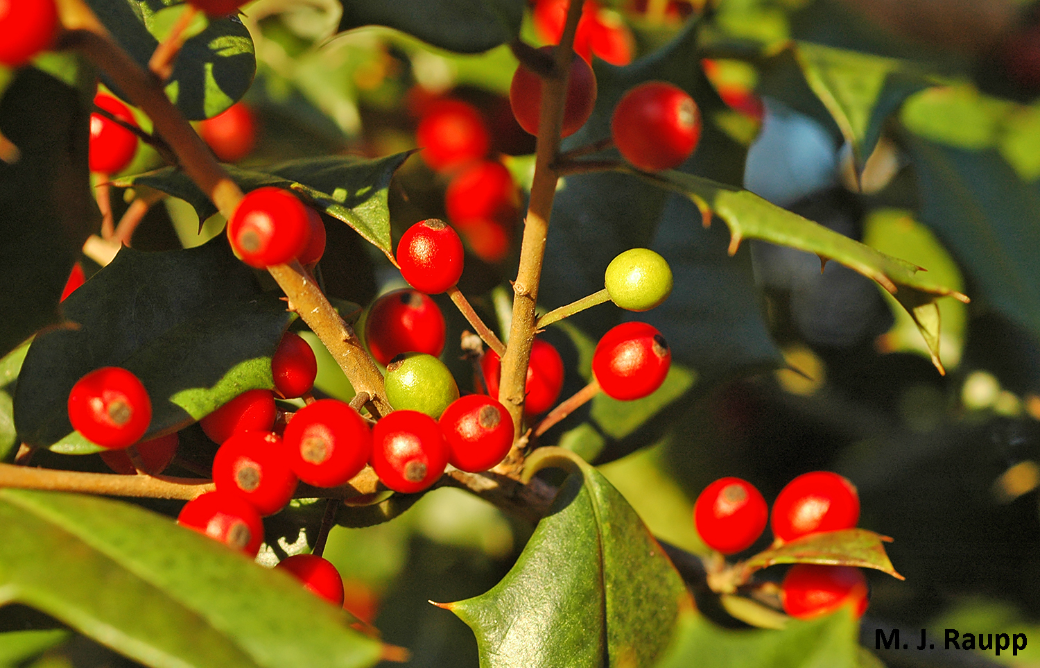 What's up with the green berries on the holly tree?