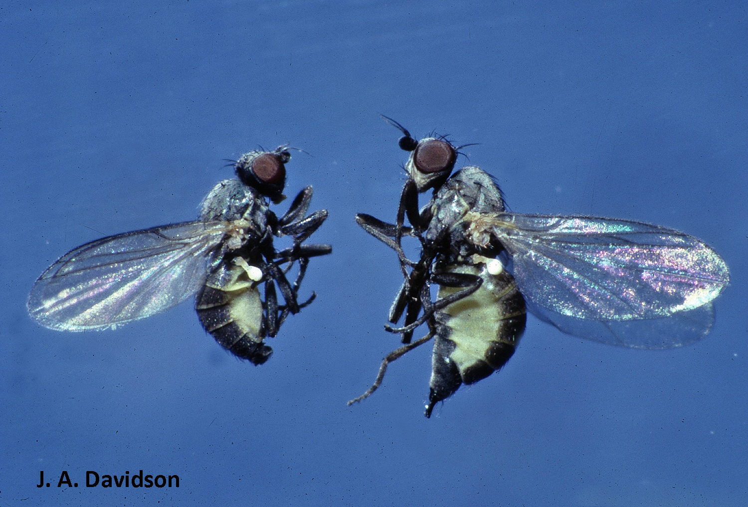 Adult holly leafminers resemble small houseflies. Image credit: J. A. Davidson