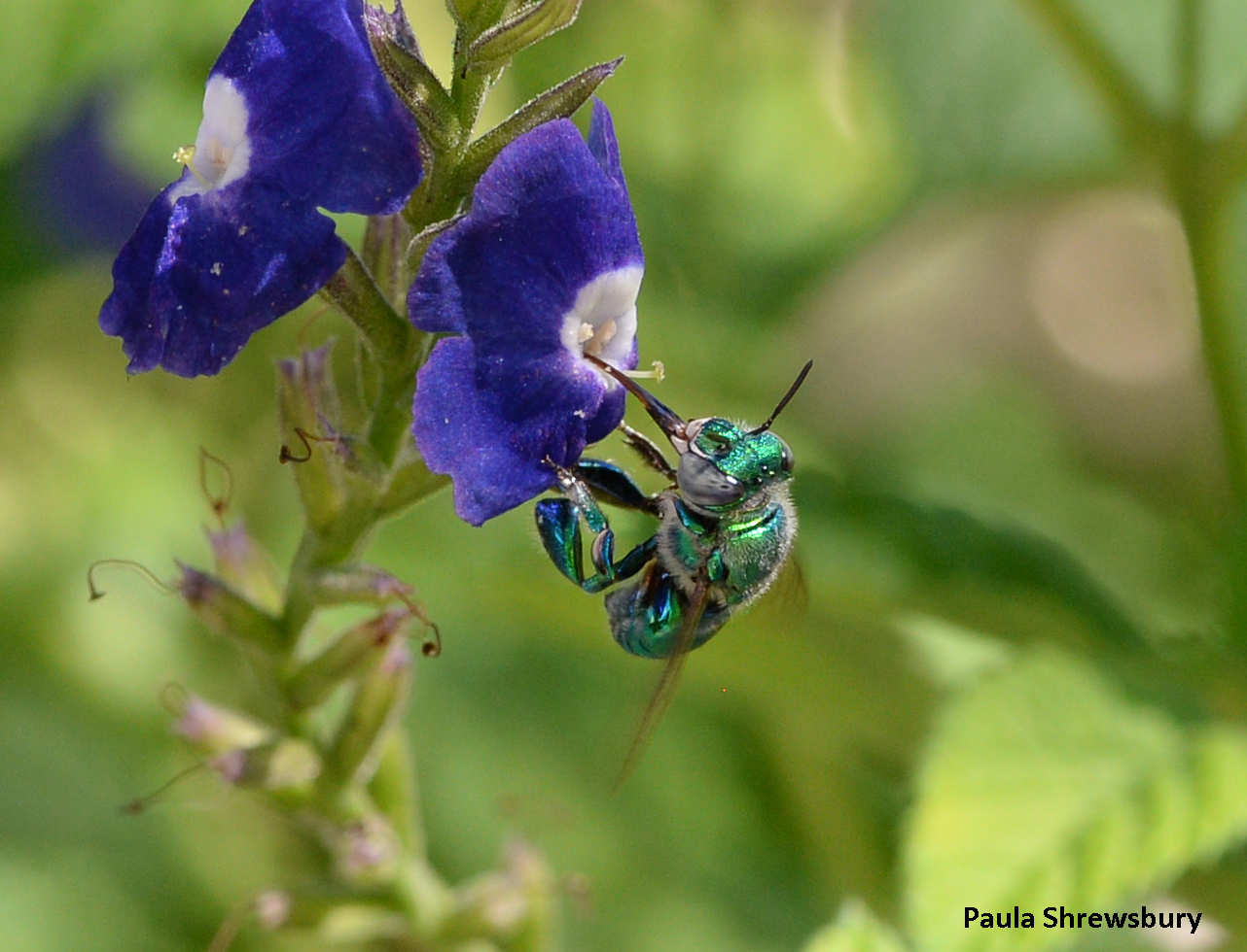 The arrival of green orchid bees in Florida has added one more flamboyant insect to a long list of arrivals from other lands. Photo credit: Paula Shrewsbury, UMD