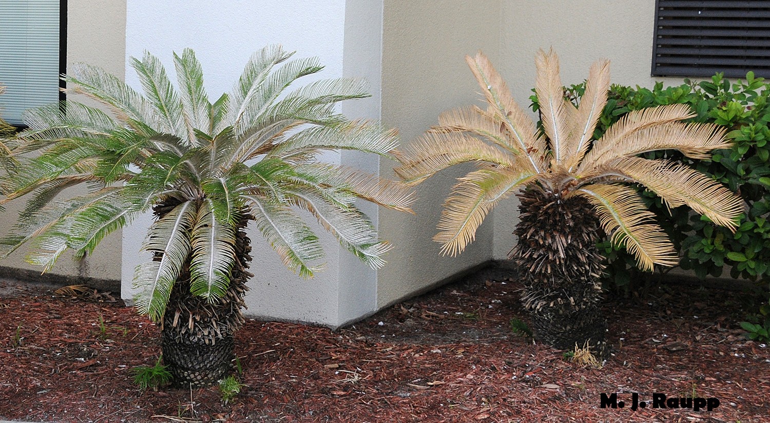 With populations of scales in the myriad thousands, the sago palm on the left may soon meet the fate of its partner on the right.