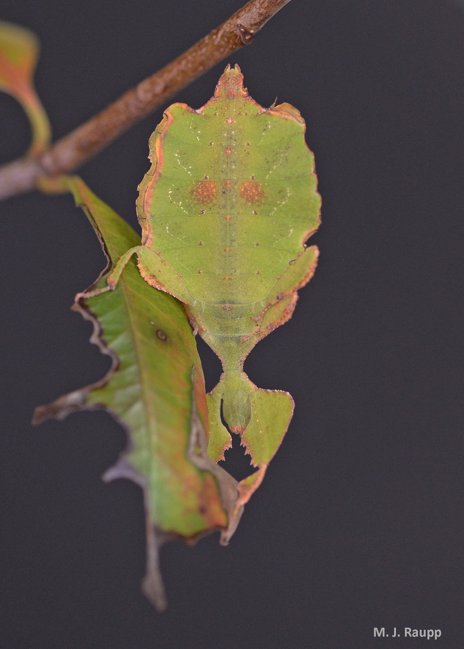 Just two faded leaves or is one a leaf insect?