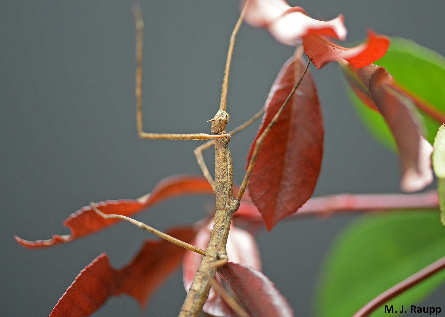 By remaining motionless for hours, this stick insect's masquerade has evolved to deceive visually astute predators.