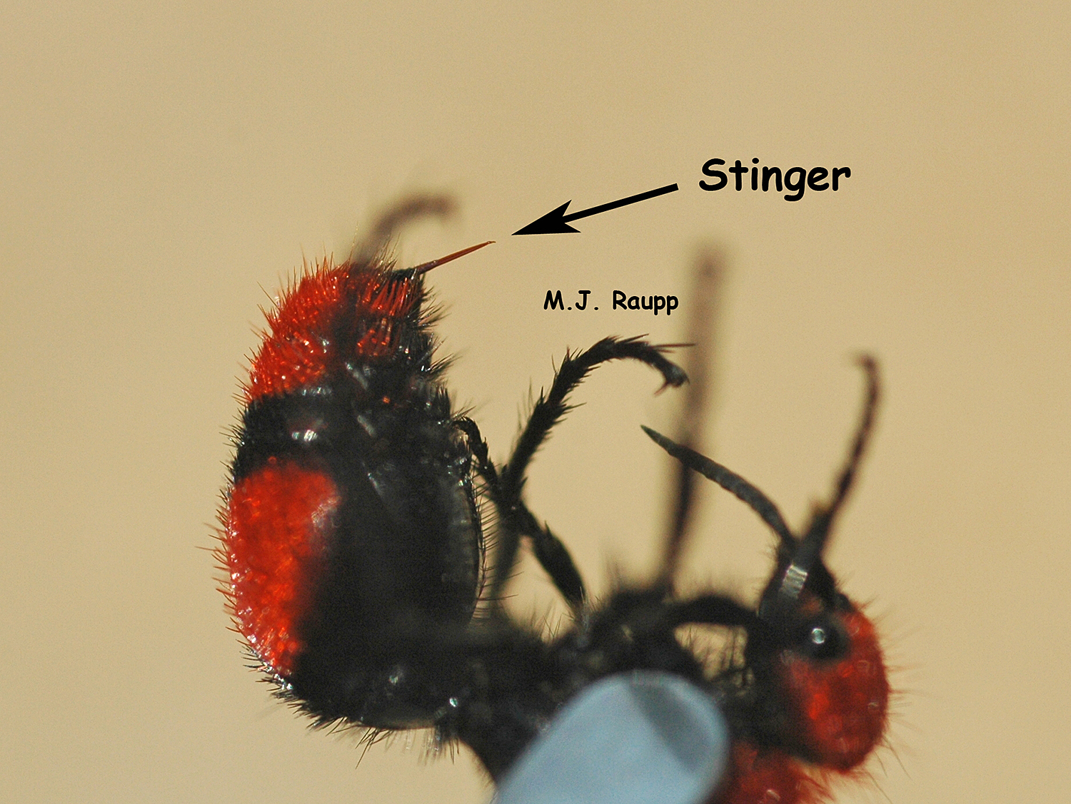 "Check out the size of the stinger on our local velvet ant, fondly known as the ""cow killer."""